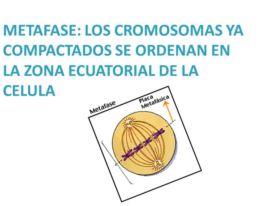 METAFASE: LOS CROMOSOMAS YA COMPACTADOS SE ORDENAN EN LA ZONA ECUATORIAL DE LA CELULA