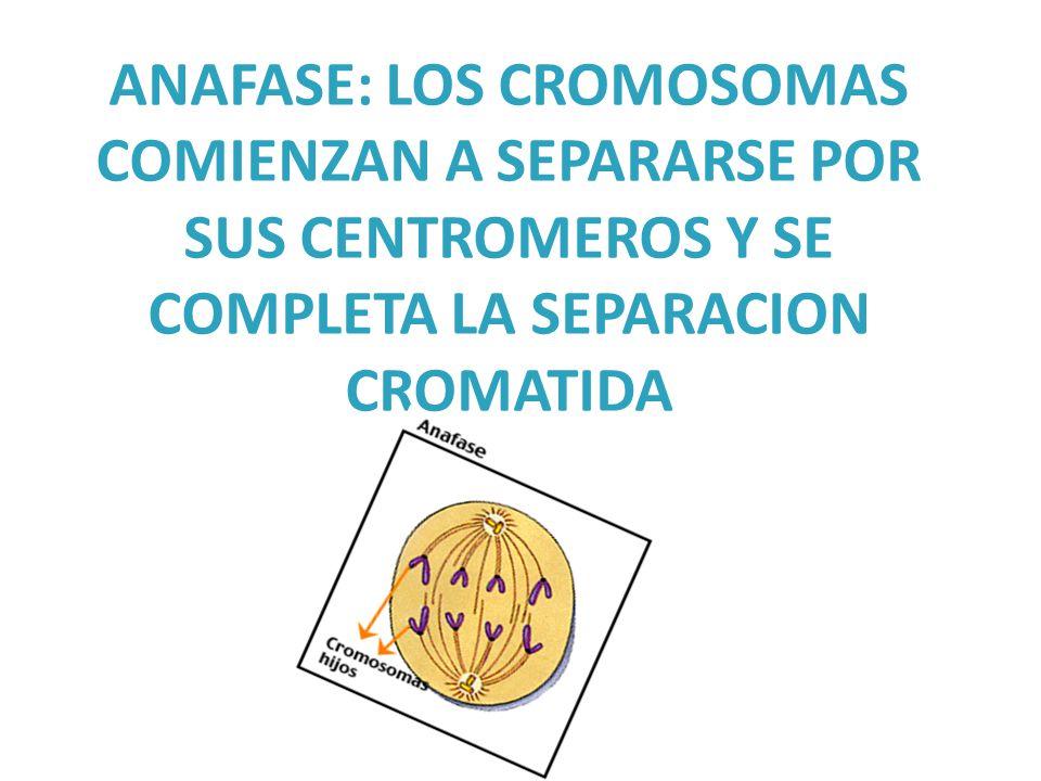 ANAFASE: LOS CROMOSOMAS COMIENZAN A SEPARARSE POR SUS CENTROMEROS Y SE COMPLETA LA SEPARACION CROMATIDA