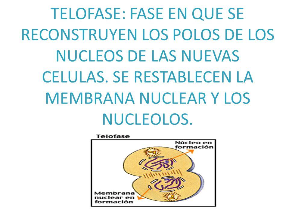 TELOFASE: FASE EN QUE SE RECONSTRUYEN LOS POLOS DE LOS NUCLEOS DE LAS NUEVAS CELULAS.