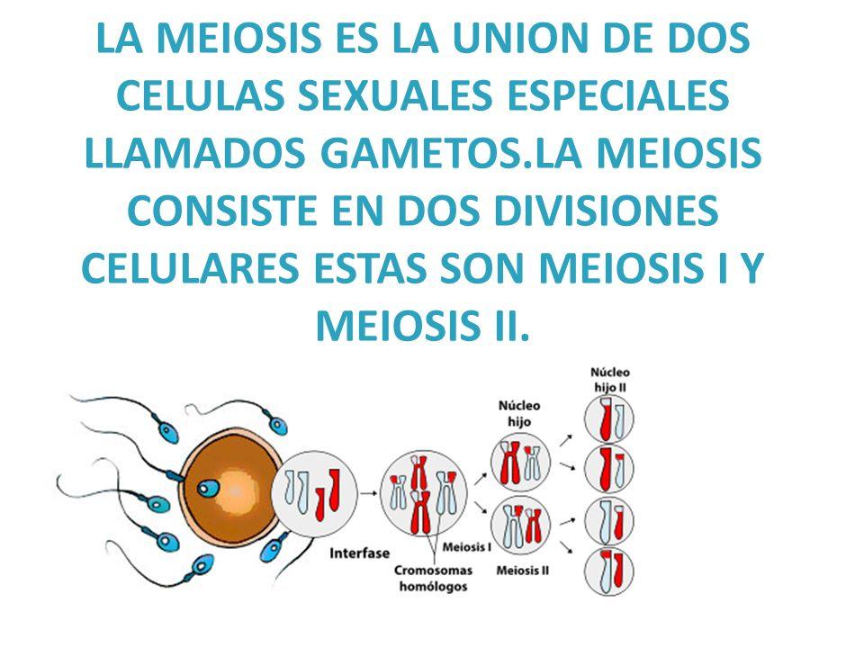 LA MEIOSIS ES LA UNION DE DOS CELULAS SEXUALES ESPECIALES LLAMADOS GAMETOS.LA MEIOSIS CONSISTE EN DOS DIVISIONES CELULARES ESTAS SON MEIOSIS I Y MEIOSIS II.