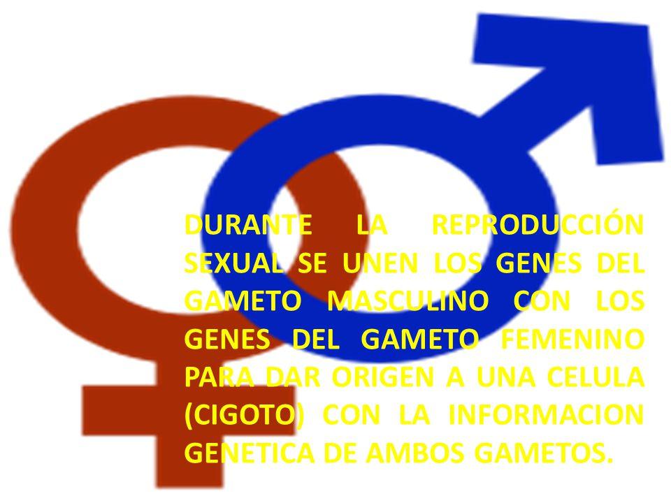 DURANTE la reproducción sexual SE UNEN LOS GENES DEL GAMETO MASCULINO CON LOS GENES DEL GAMETO FEMENINO PARA DAR ORIGEN A UNA CELULA (CIGOTO) CON LA INFORMACION GENETICA DE AMBOS GAMETOS.