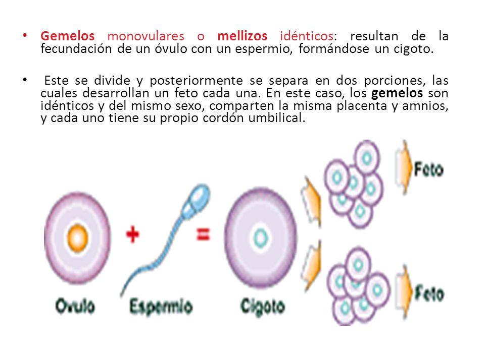 Gemelos monovulares o mellizos idénticos: resultan de la fecundación de un óvulo con un espermio, formándose un cigoto.