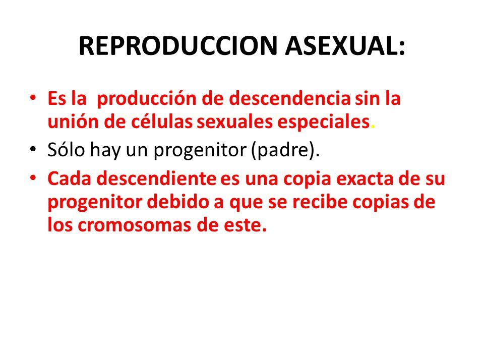 REPRODUCCION ASEXUAL: