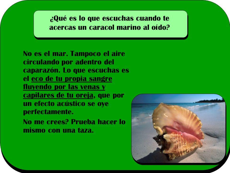 ¿Qué es lo que escuchas cuando te acercas un caracol marino al oído