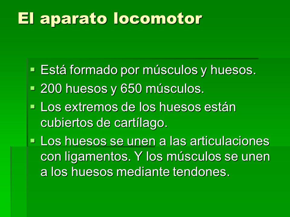 El aparato locomotor Está formado por músculos y huesos.