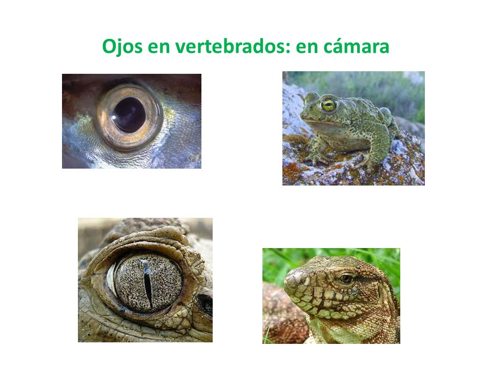 Ojos en vertebrados: en cámara
