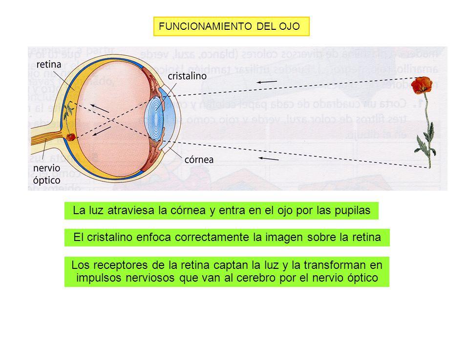 La luz atraviesa la córnea y entra en el ojo por las pupilas