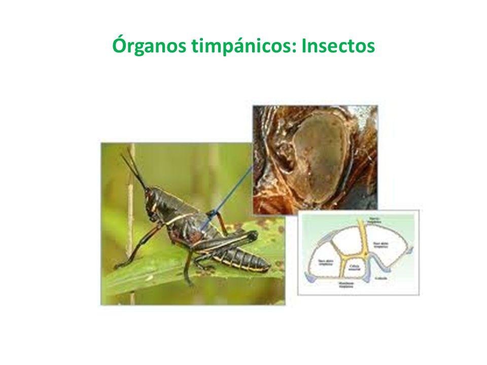 Órganos timpánicos: Insectos