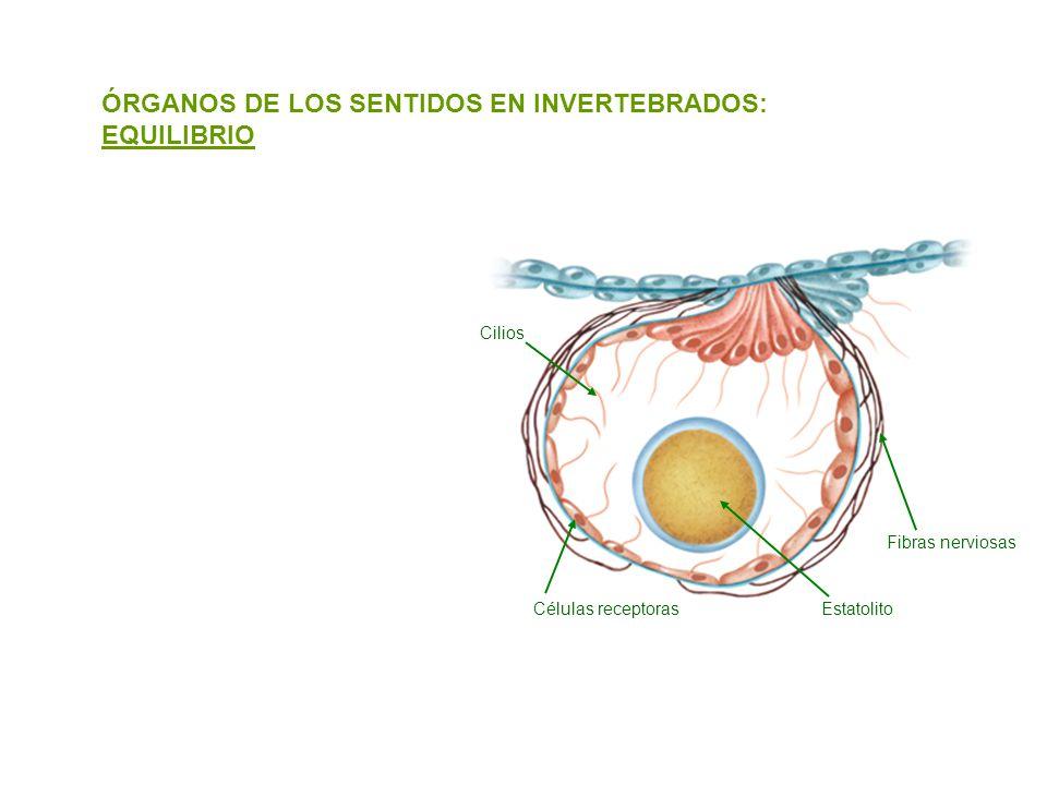 ÓRGANOS DE LOS SENTIDOS EN INVERTEBRADOS: EQUILIBRIO