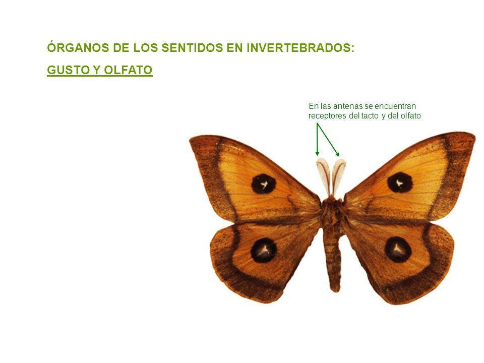 ÓRGANOS DE LOS SENTIDOS EN INVERTEBRADOS: GUSTO Y OLFATO