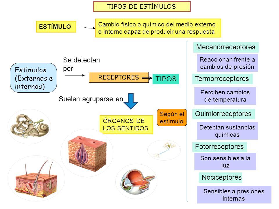 Estímulos (Externos e internos) TIPOS Termorreceptores