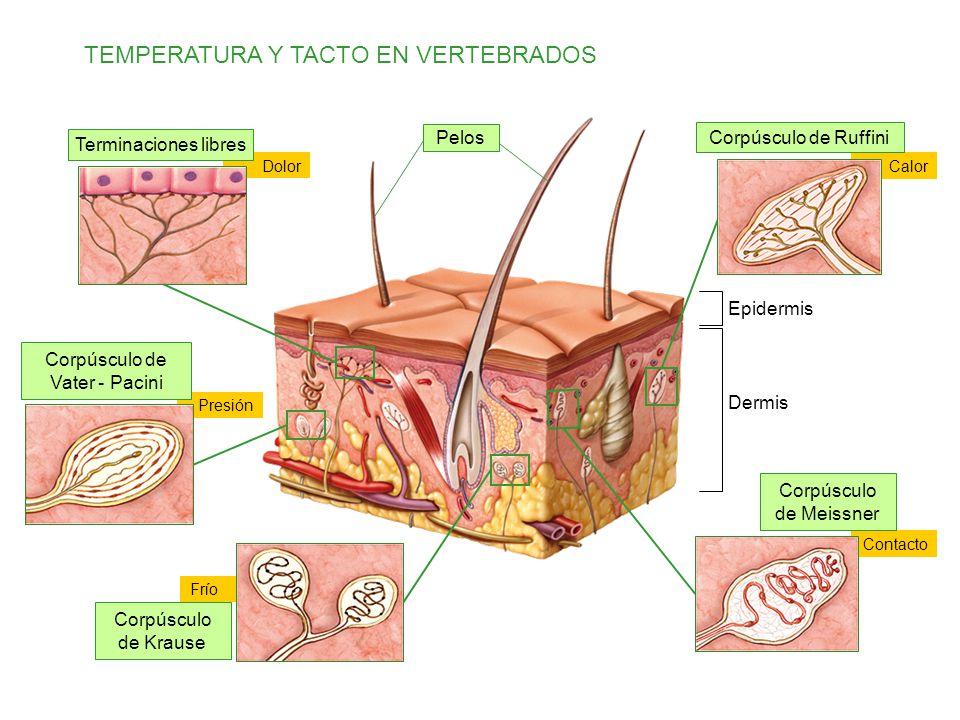 TEMPERATURA Y TACTO EN VERTEBRADOS