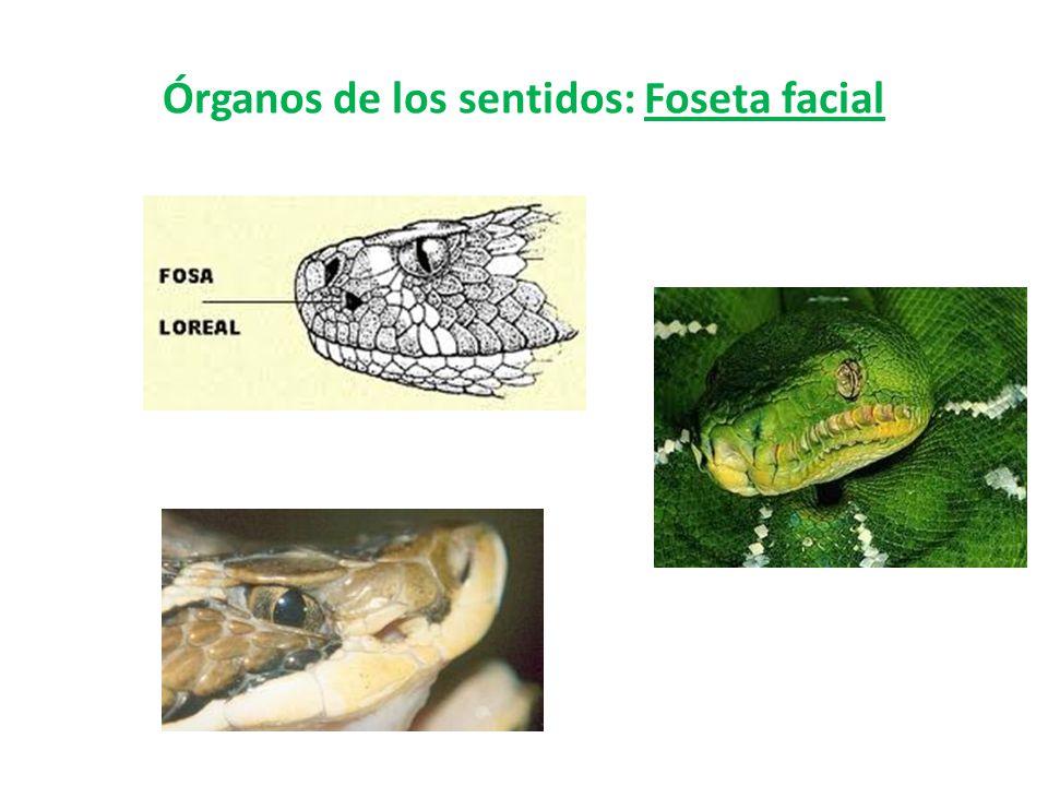 Órganos de los sentidos: Foseta facial