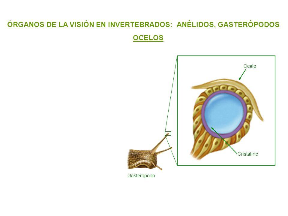 ÓRGANOS DE LA VISIÓN EN INVERTEBRADOS: ANÉLIDOS, GASTERÓPODOS OCELOS