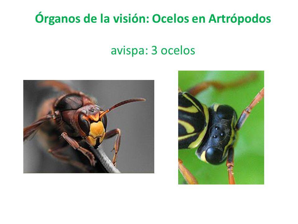 Órganos de la visión: Ocelos en Artrópodos avispa: 3 ocelos