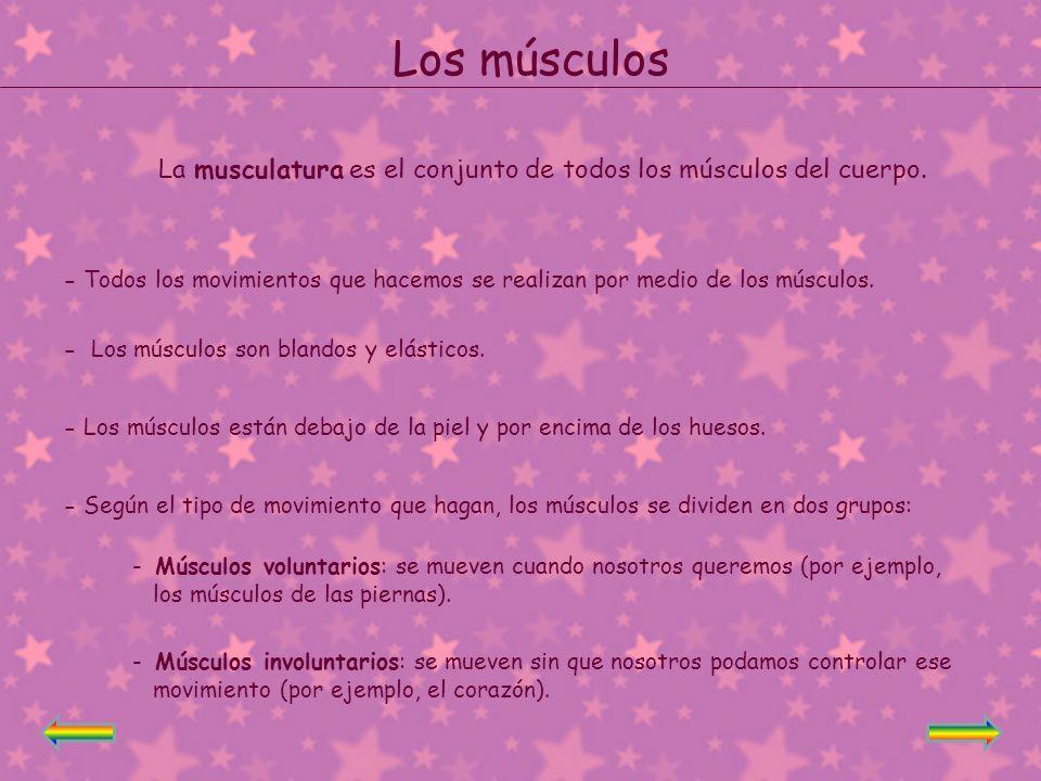 Los músculos La musculatura es el conjunto de todos los músculos del cuerpo.