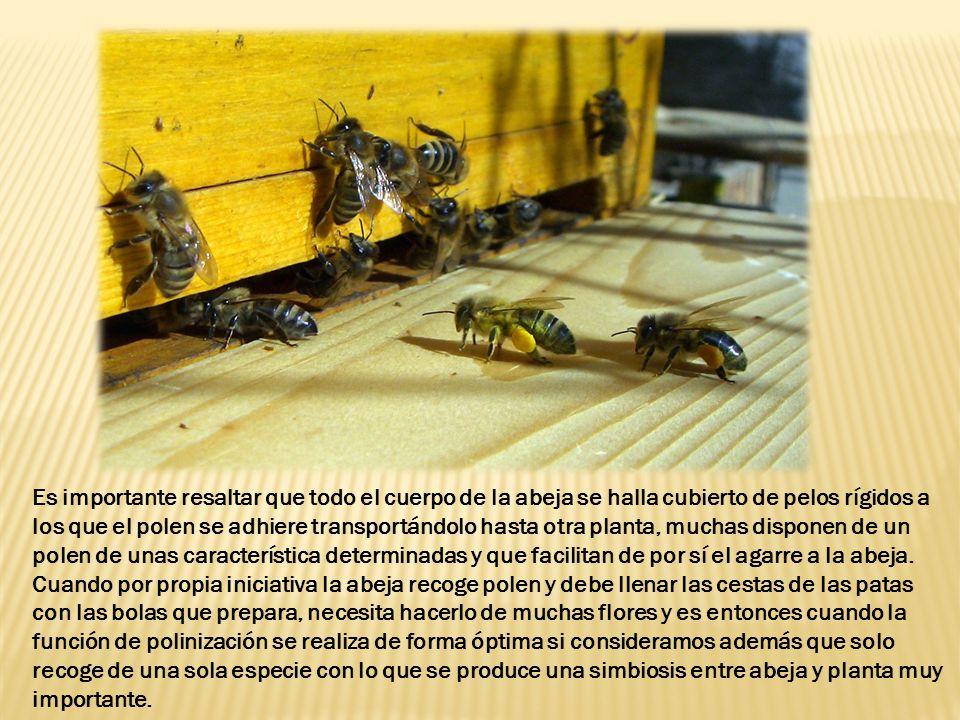 Es importante resaltar que todo el cuerpo de la abeja se halla cubierto de pelos rígidos a los que el polen se adhiere transportándolo hasta otra planta, muchas disponen de un polen de unas característica determinadas y que facilitan de por sí el agarre a la abeja.