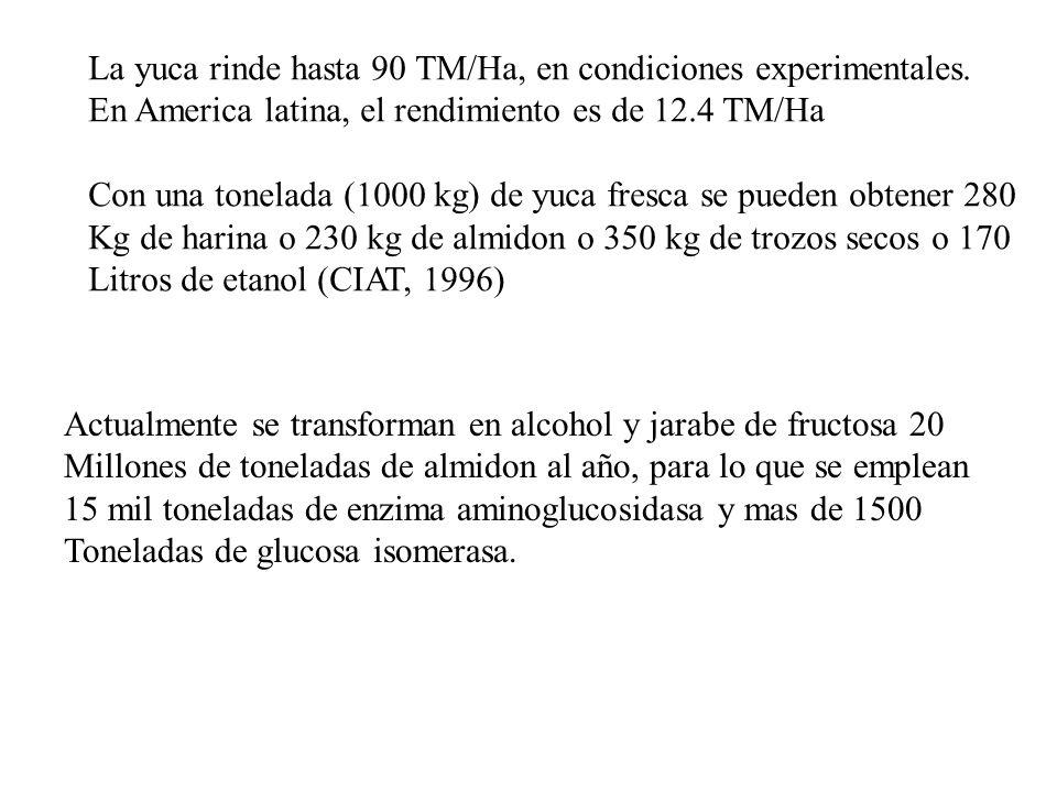La yuca rinde hasta 90 TM/Ha, en condiciones experimentales.
