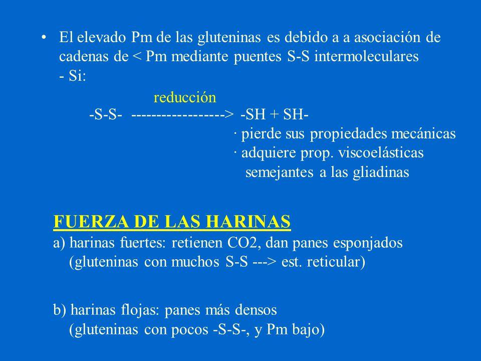 El elevado Pm de las gluteninas es debido a a asociación de cadenas de < Pm mediante puentes S-S intermoleculares - Si: -S-S- ------------------> -SH + SH- · pierde sus propiedades mecánicas · adquiere prop. viscoelásticas semejantes a las gliadinas