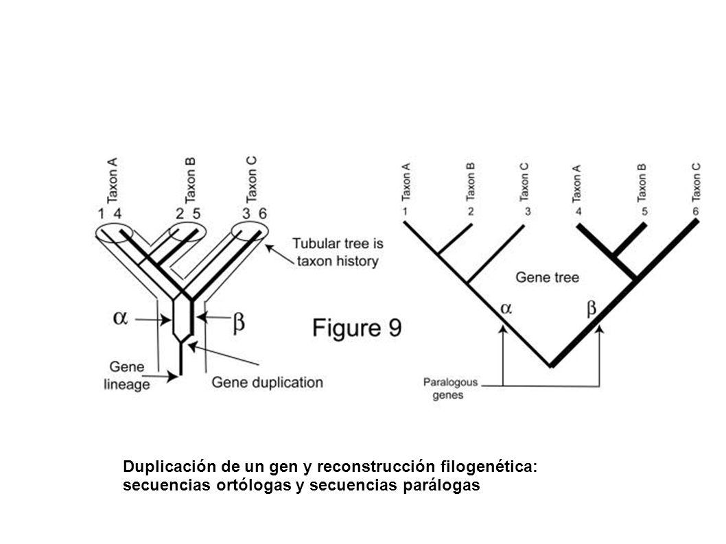 Duplicación de un gen y reconstrucción filogenética: secuencias ortólogas y secuencias parálogas