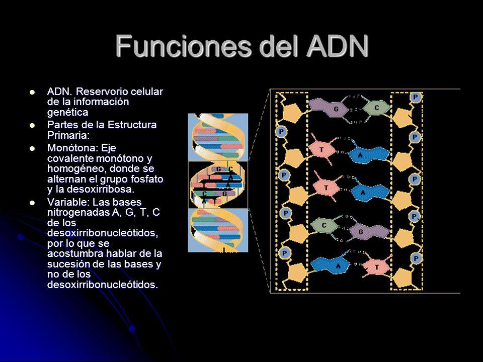 Funciones del ADN ADN. Reservorio celular de la información genética