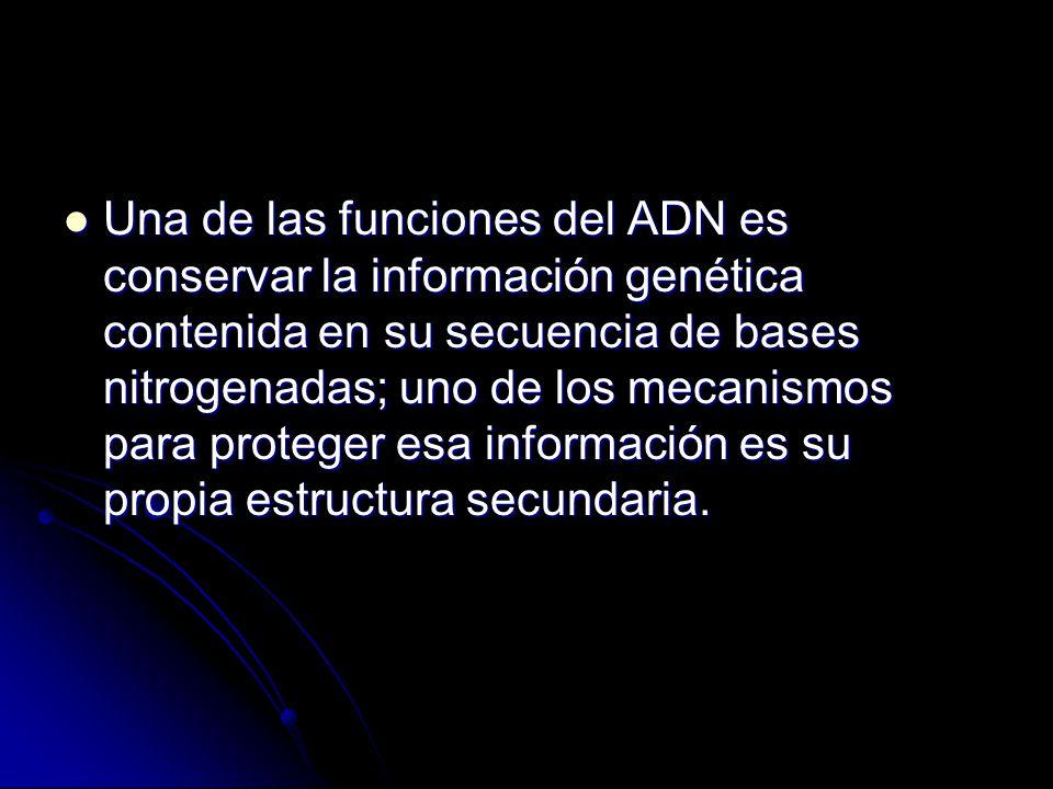 Una de las funciones del ADN es conservar la información genética contenida en su secuencia de bases nitrogenadas; uno de los mecanismos para proteger esa información es su propia estructura secundaria.