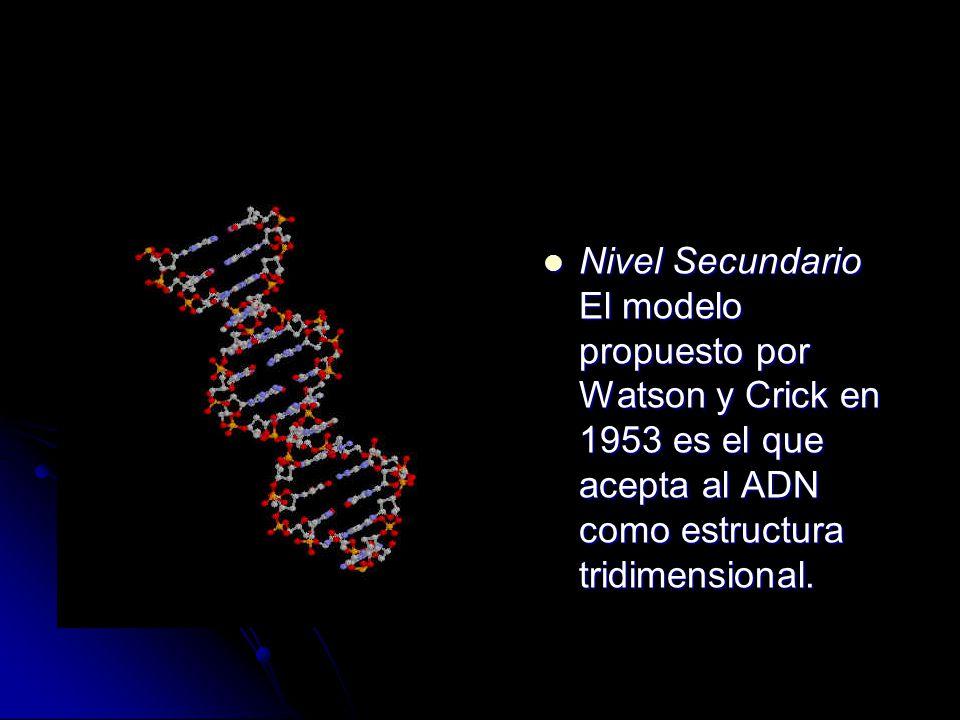 Nivel Secundario El modelo propuesto por Watson y Crick en 1953 es el que acepta al ADN como estructura tridimensional.