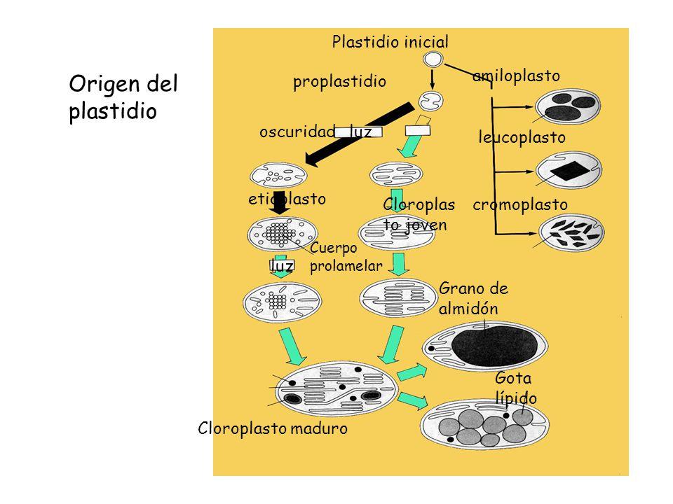 Origen del plastidio Plastidio inicial amiloplasto proplastidio
