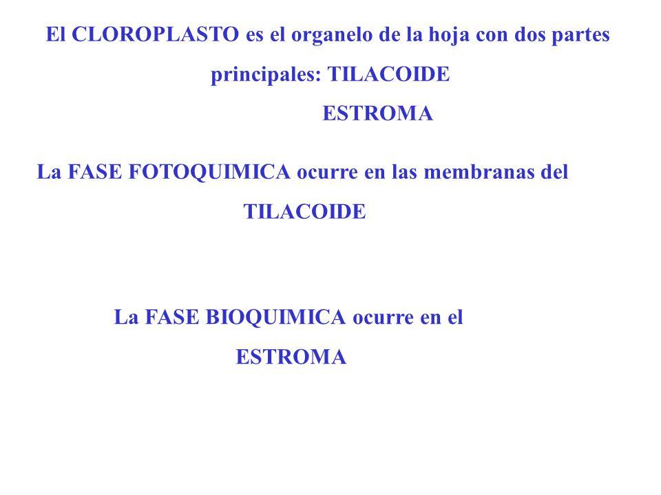 El CLOROPLASTO es el organelo de la hoja con dos partes