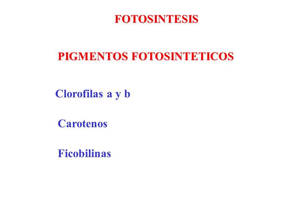 FOTOSINTESIS PIGMENTOS FOTOSINTETICOS Clorofilas a y b Carotenos Ficobilinas