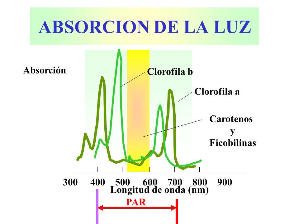 ABSORCION DE LA LUZ Absorción Clorofila b Clorofila a Carotenos y