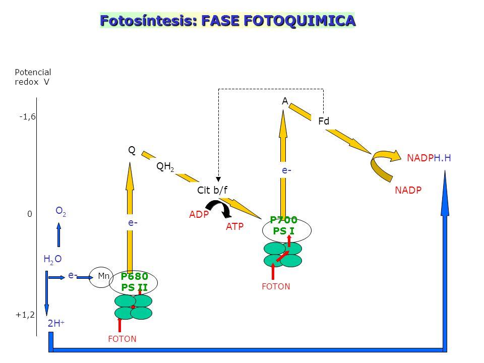 Fotosíntesis: FASE FOTOQUIMICA