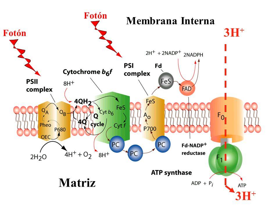 Fotón Membrana Interna Estroma 3H+ Fotón Matriz Lumen Tilacoide 3H+