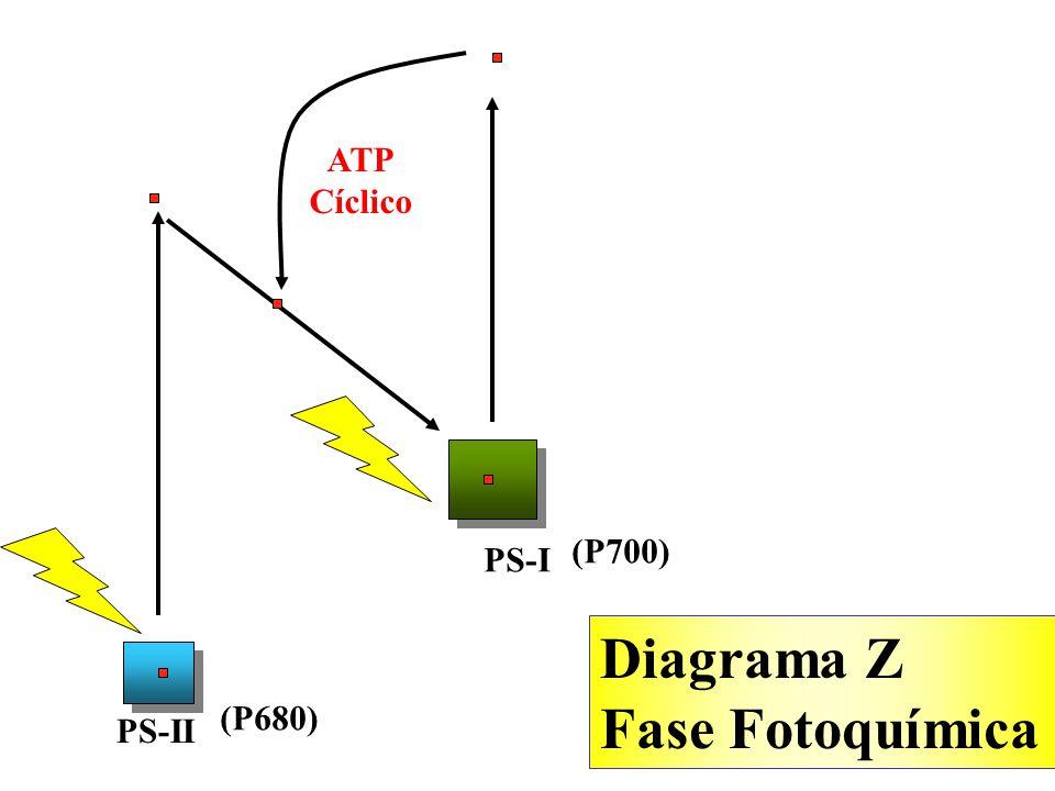 ATP Cíclico (P700) PS-I Diagrama Z Fase Fotoquímica (P680) PS-II