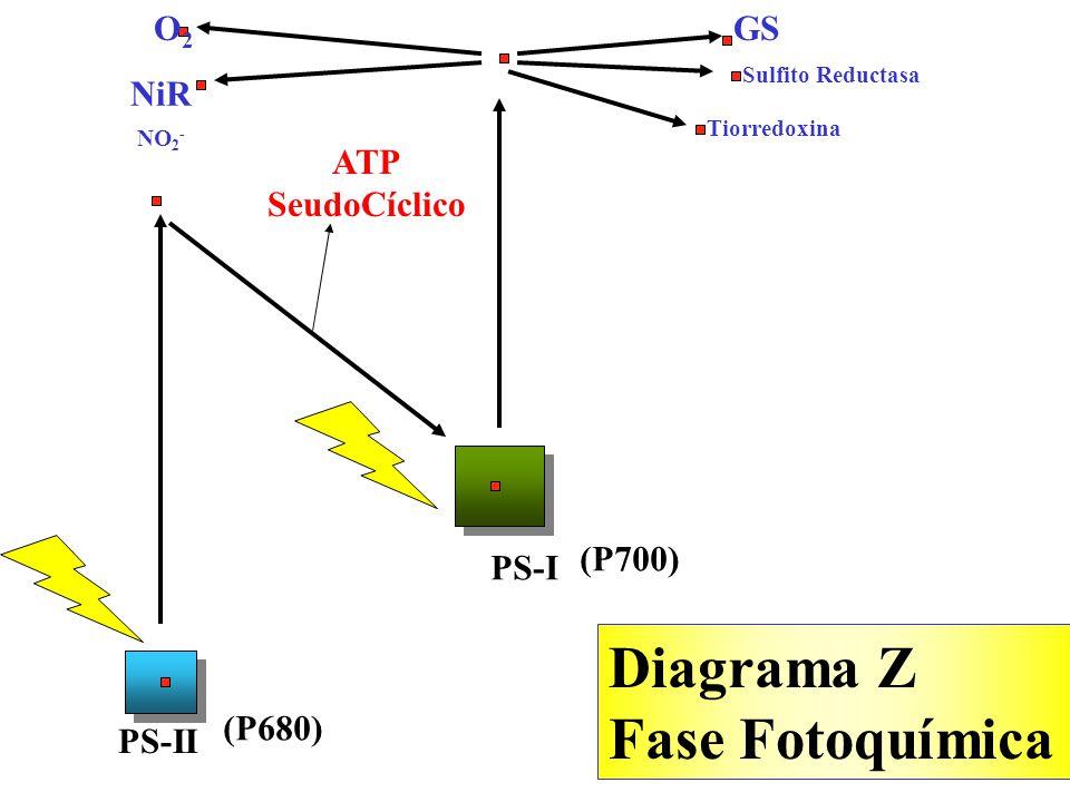 Diagrama Z Fase Fotoquímica O2 GS NiR ATP SeudoCíclico (P700) PS-I