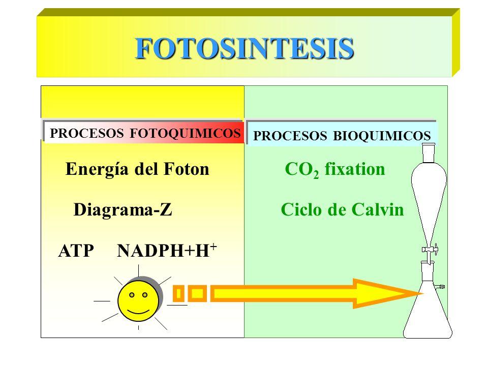 FOTOSINTESIS Energía del Foton CO2 fixation Diagrama-Z Ciclo de Calvin