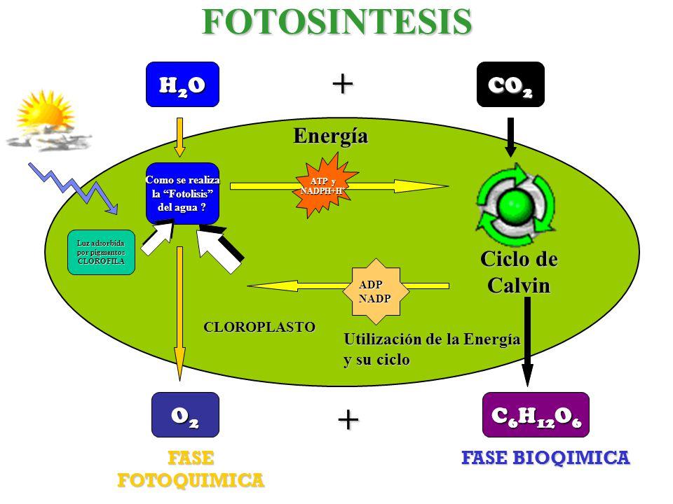 FOTOSINTESIS + + H2O CO2 Energía Ciclo de Calvin O2 C6H12O6