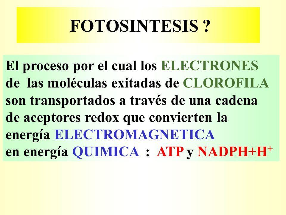 FOTOSINTESIS El proceso por el cual los ELECTRONES