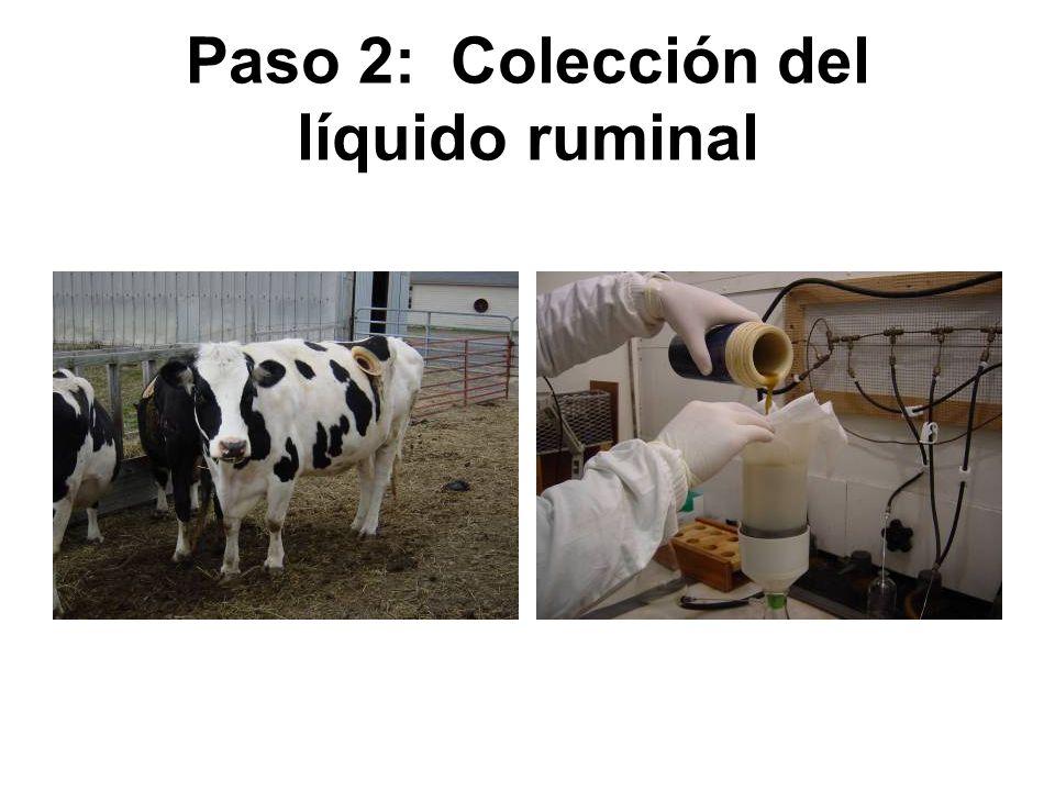 Paso 2: Colección del líquido ruminal