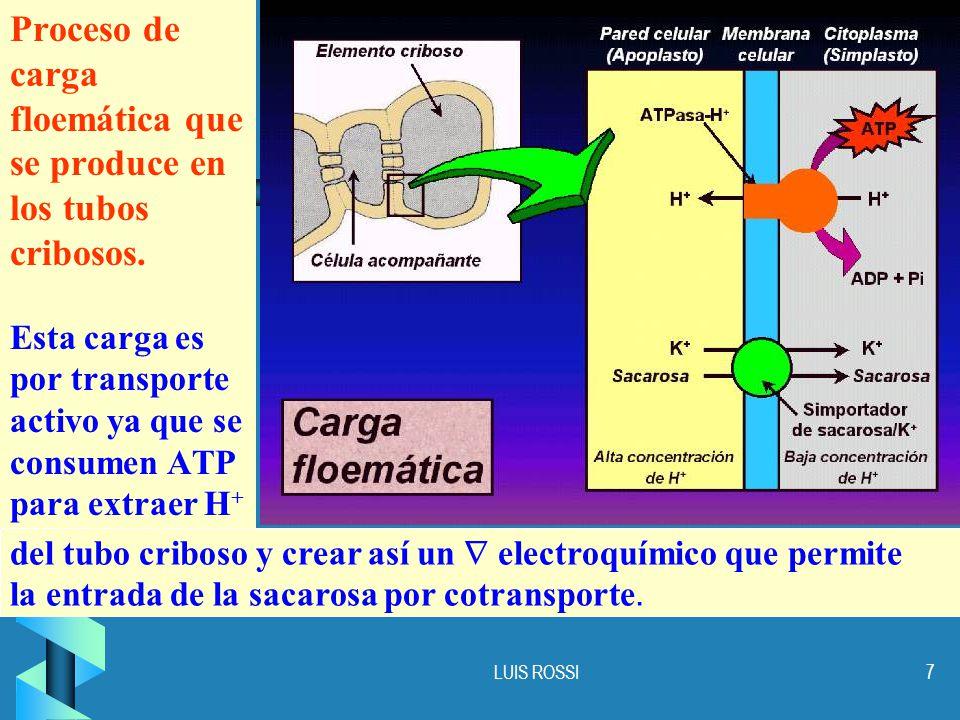 Proceso de carga floemática que se produce en los tubos cribosos