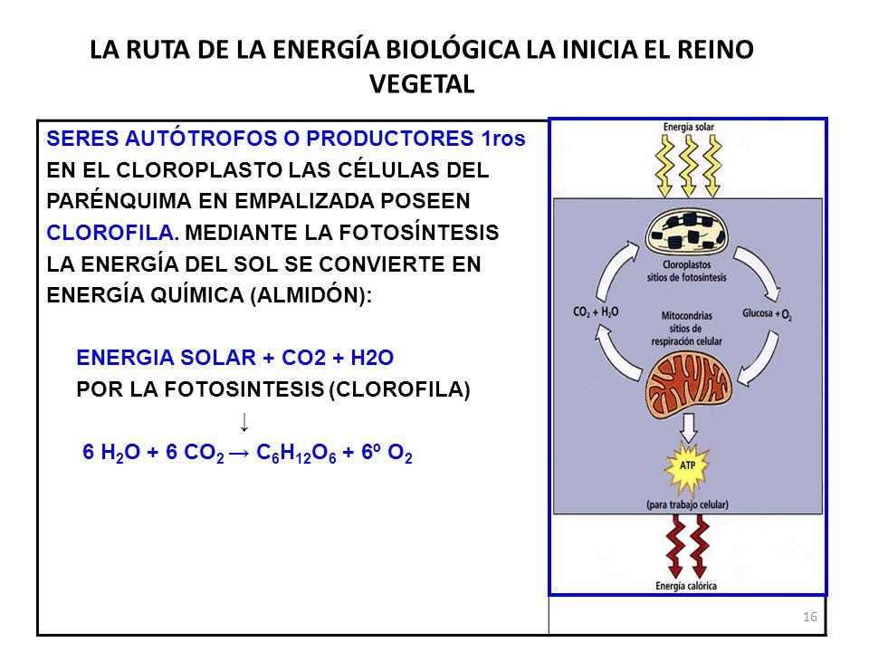 LA RUTA DE LA ENERGÍA BIOLÓGICA LA INICIA EL REINO VEGETAL