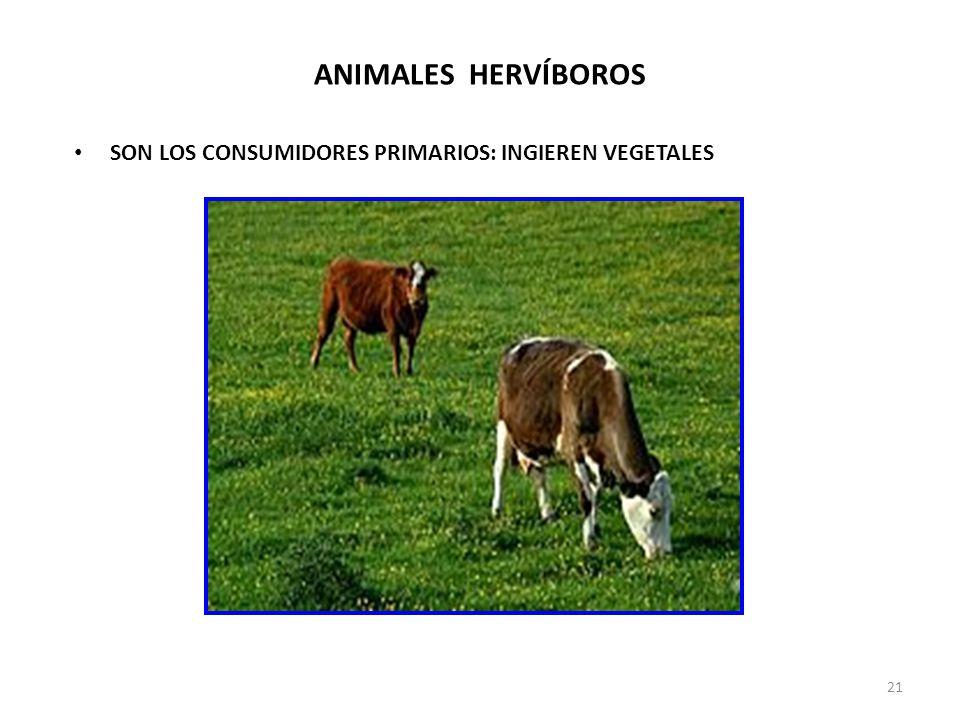 ANIMALES HERVÍBOROS SON LOS CONSUMIDORES PRIMARIOS: INGIEREN VEGETALES