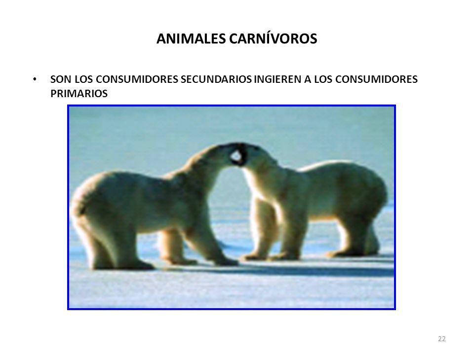 ANIMALES CARNÍVOROS SON LOS CONSUMIDORES SECUNDARIOS INGIEREN A LOS CONSUMIDORES PRIMARIOS