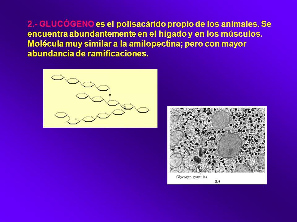 2. - GLUCÓGENO es el polisacárido propio de los animales
