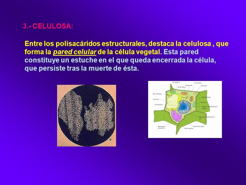 3.- CELULOSA: