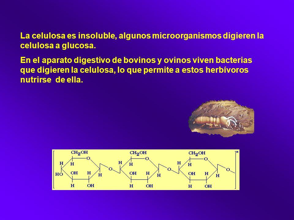 La celulosa es insoluble, algunos microorganismos digieren la celulosa a glucosa.