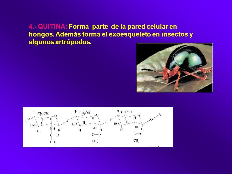 4. - QUITINA: Forma parte de la pared celular en hongos