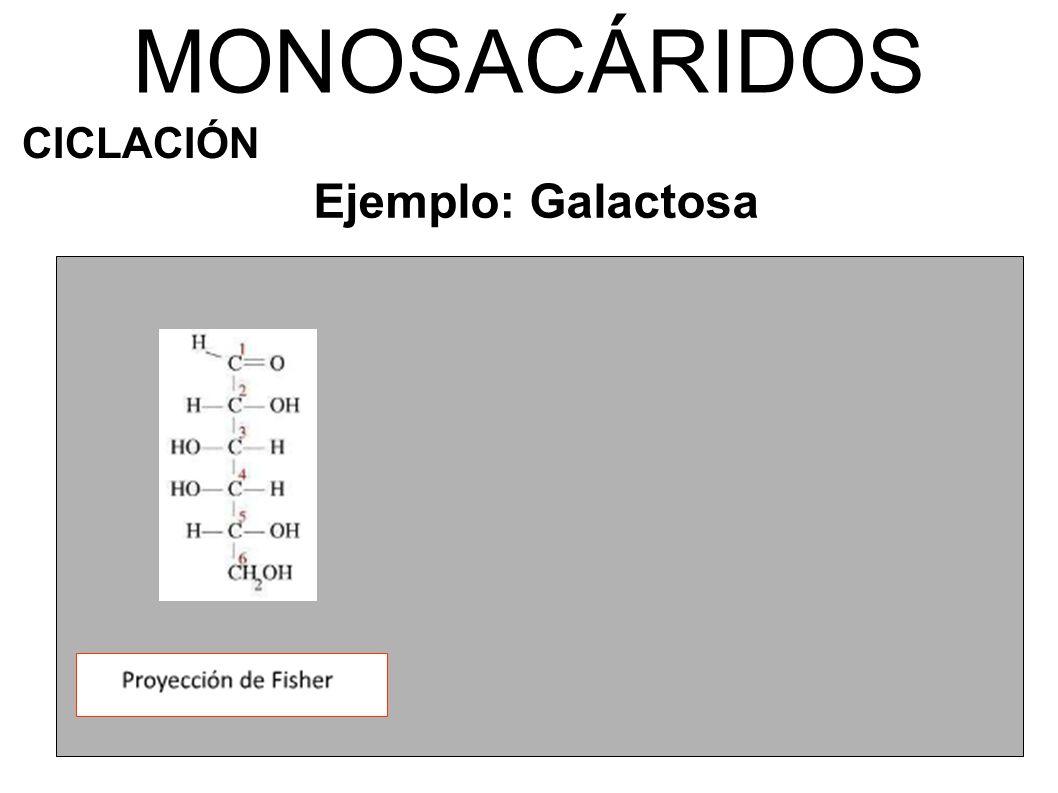 MONOSACÁRIDOS CICLACIÓN Ejemplo: Galactosa α-D-galactopiranosa