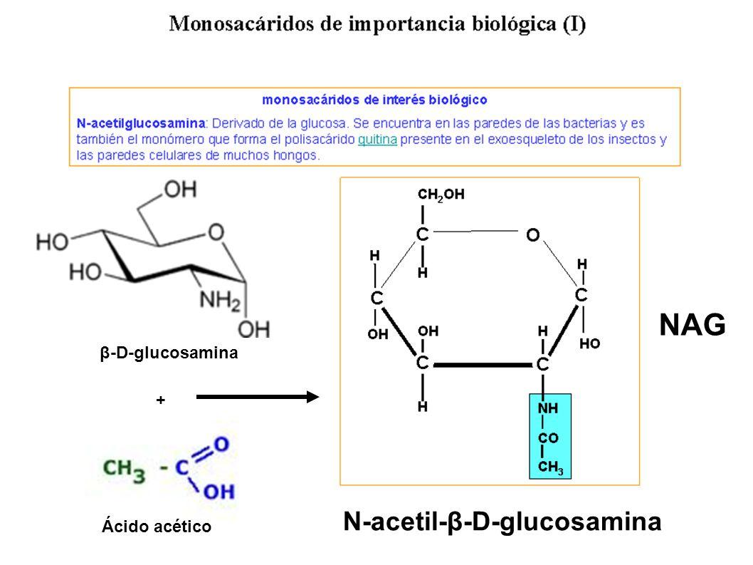 NAG β-D-glucosamina + N-acetil-β-D-glucosamina Ácido acético