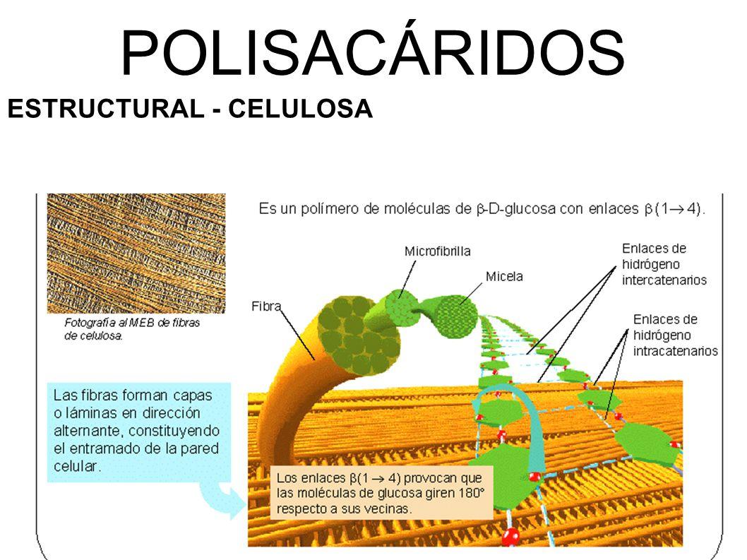 POLISACÁRIDOS ESTRUCTURAL - CELULOSA